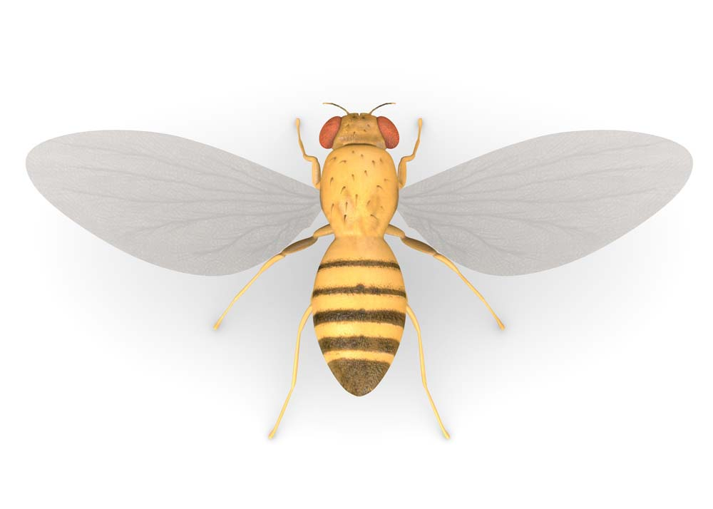Fruit Fly Management